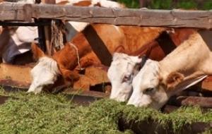 DAIRY-FEED™- Concentrat natural pentru bovine